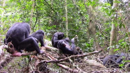 Peaceful neighbours? Intergroup behaviour in wild bonobos